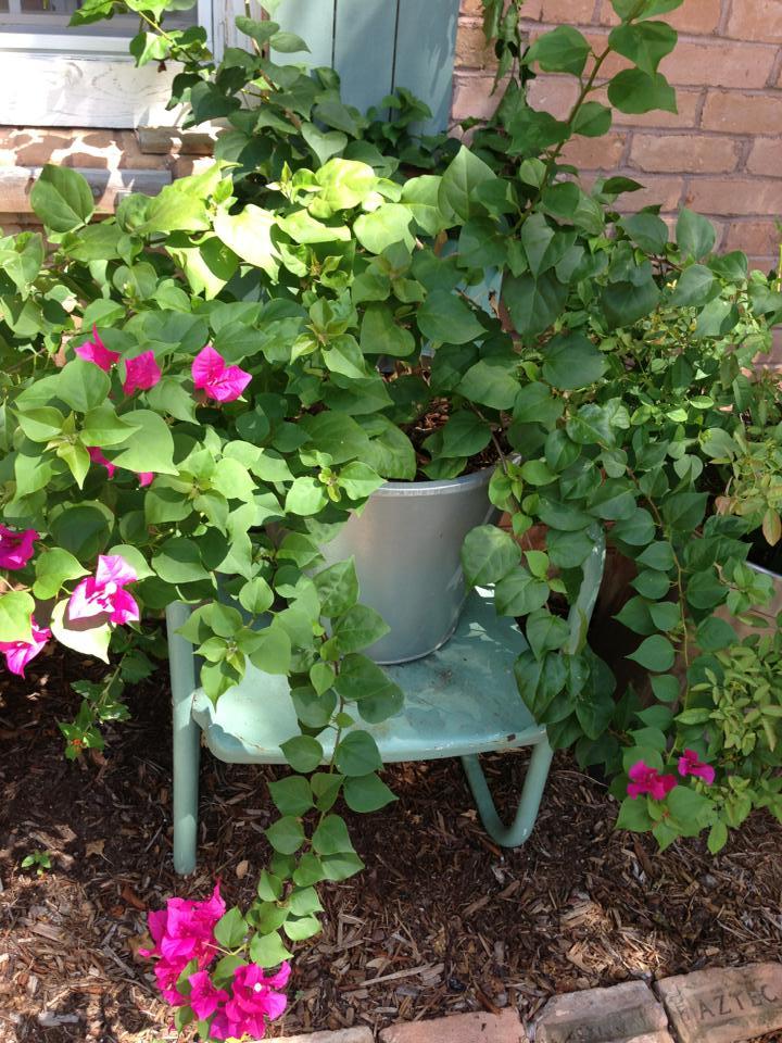 Great-Granny's Bougainvillea & Chair
